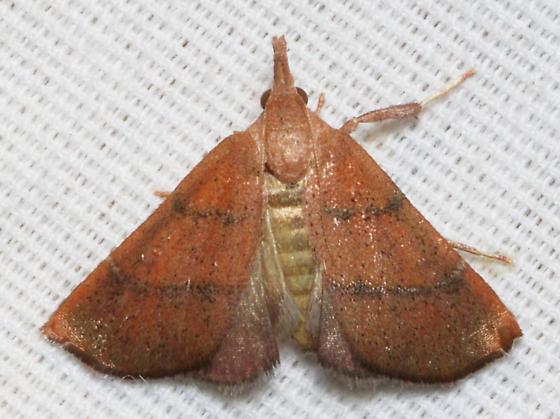 unknown moth - Lepidomys irrenosa
