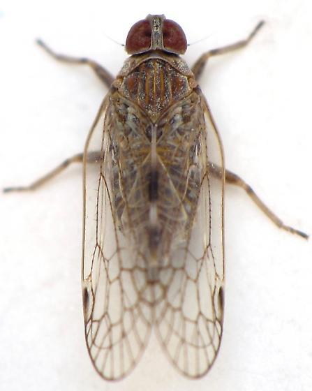 unknown planthopper - Oecleus