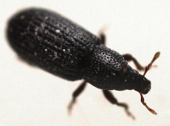 Beetle - Pseudopentarthrum