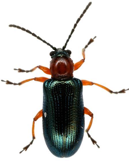Cereal Leaf Beetle? - Oulema melanopus