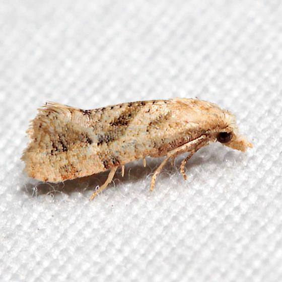 Platphalonidia felix - Platphalonidia magdalenae
