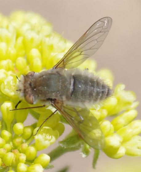 Gray Fly - Pantarbes