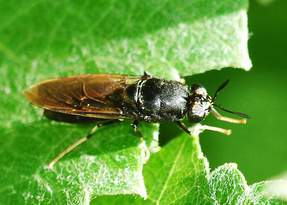 Black soldier fly - Hermetia illucens