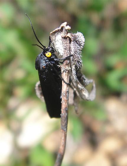 Small black moth w/ yellow eyes - Cydosia majuscula