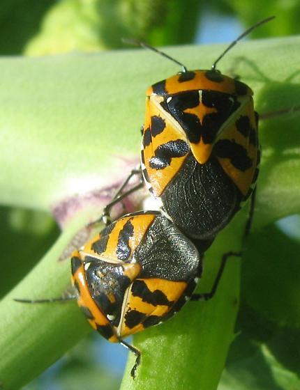 Beetle or true bug? - Murgantia histrionica - male - female