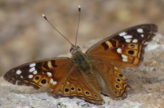 Butterfly - Asterocampa leilia
