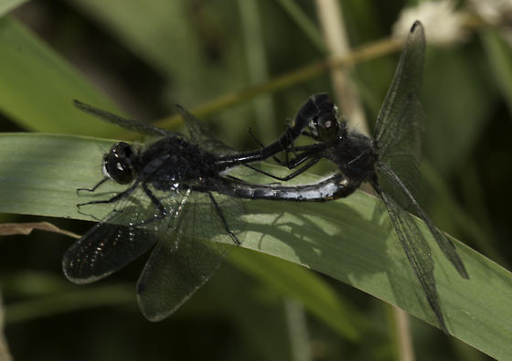 Mating pair - Leucorrhinia intacta - male - female