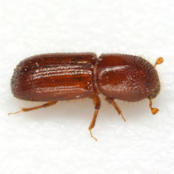 Xyleborinus pubescens Zimmermann - Xyleborus pubescens