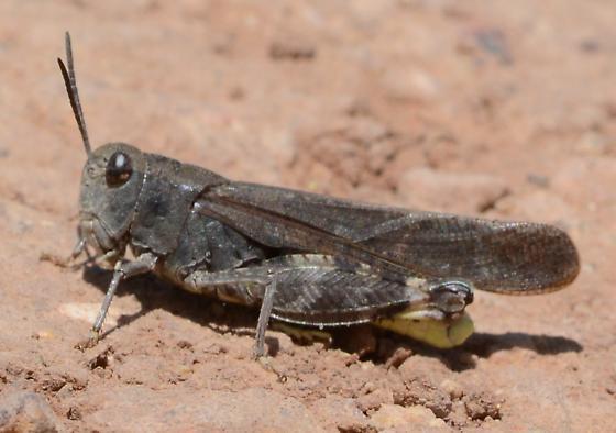 Grasshopper - Arphia conspersa - male