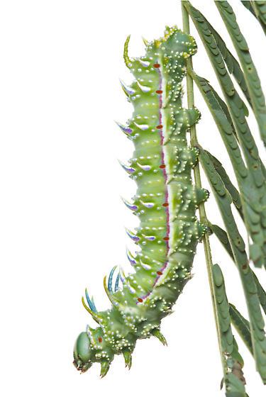 Royal Moth - Syssphinx albolineata