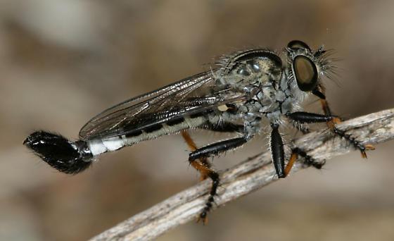 Efferia apicalis - male