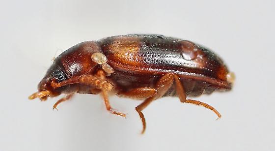 Tenebrionid - Alphitophagus bifasciatus