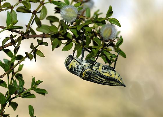 Gyascutus planicosta - female