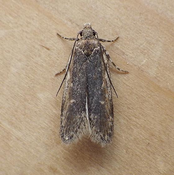 Gelechiidae: Filatima pseudacaciella?