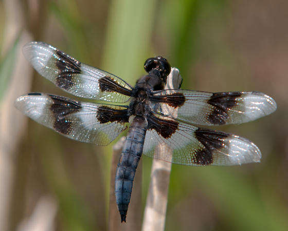 Eight Spotted Skimmer - Libellula forensis - male