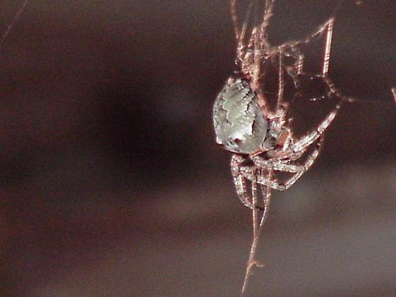 unknown spider-looks like a hermit crab or something - Araneus bicentenarius