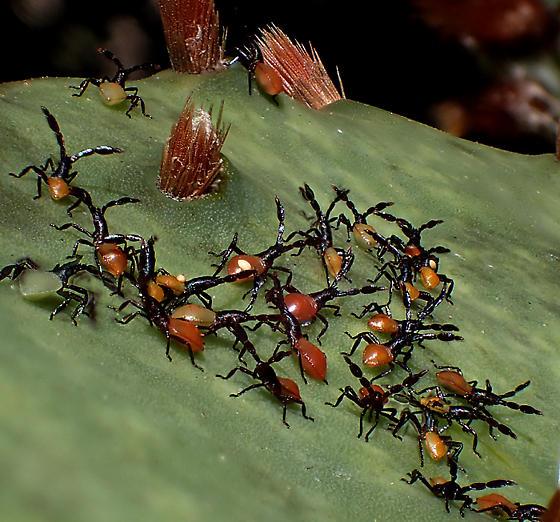 cactus bug nymphs - Chelinidea vittiger
