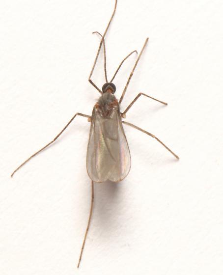 Cecidomyiidae, dorsal - Asphondylia helianthiflorae - male