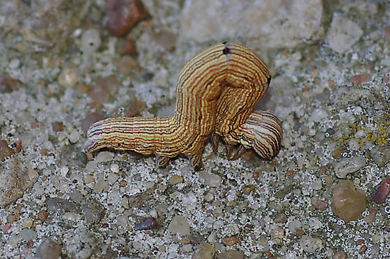 Clover Looper Hodges #8738 - Caenurgina crassiuscula