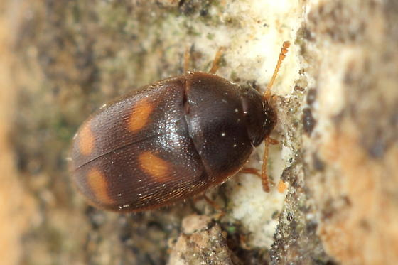 Hairy Fungus Beetle - Litargus tetraspilotus
