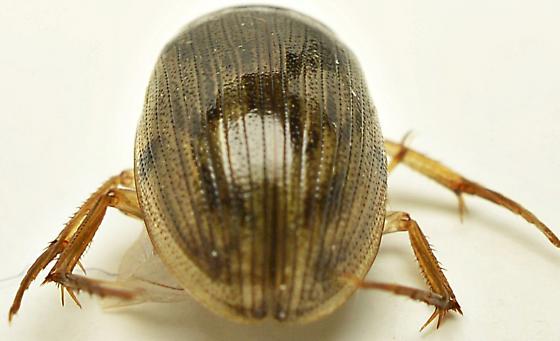 919W04 - Berosus infuscatus