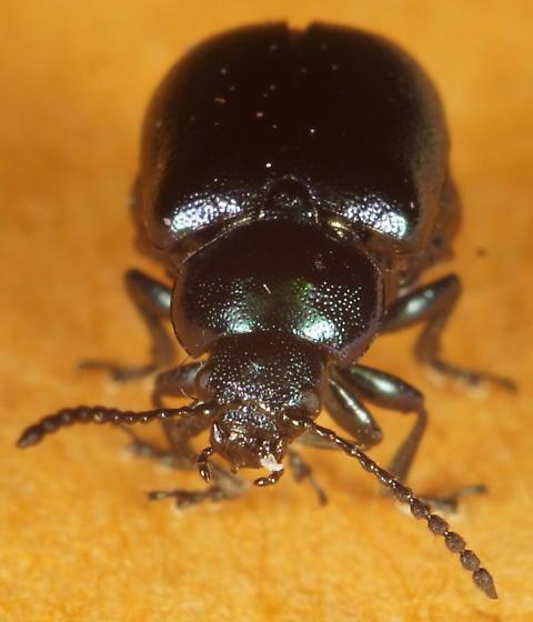 Unknown Beetle - Gastrophysa cyanea