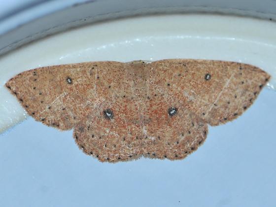Packard's Wave Moth - Cyclophora packardi