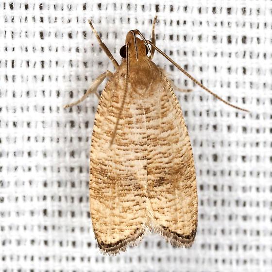 Black-fringed Psilocorsis Moth - Hodges #0956 - Psilocorsis cryptolechiella
