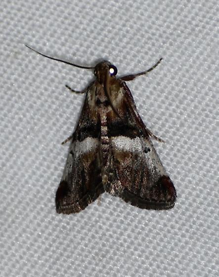 Toripalpus breviornatalis