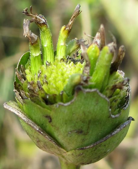 Cup plant flower galls