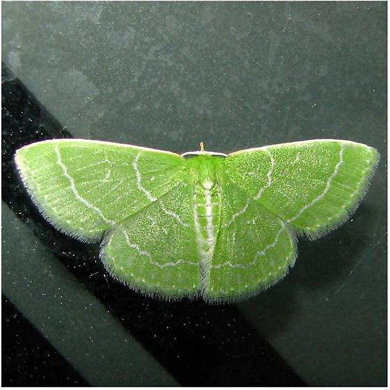 Emerald  - Synchlora aerata