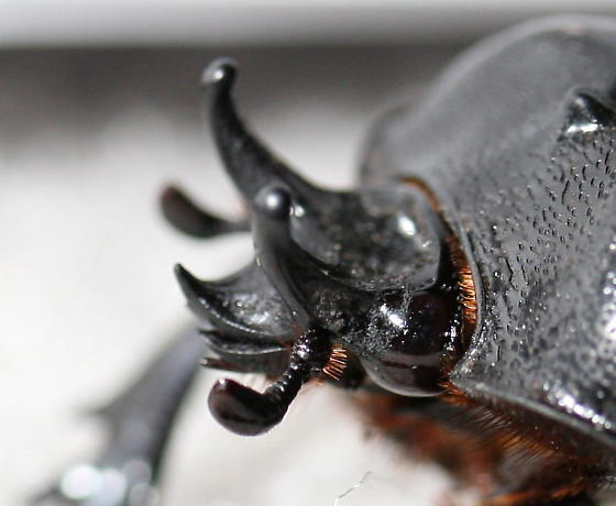 Unknown Beetle - Phileurus truncatus