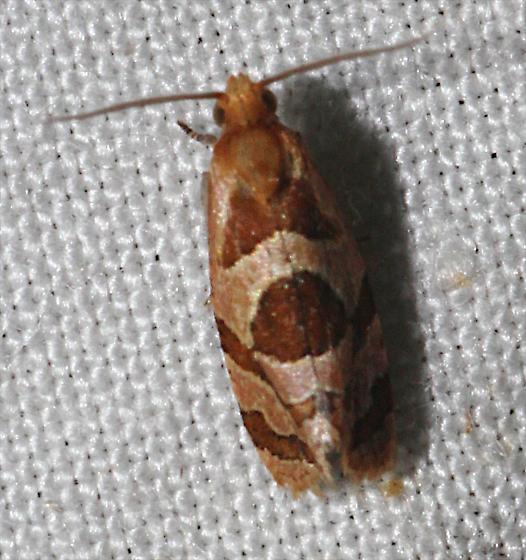 Small Brown-White Moth - Hyptiharpa baboquavariana
