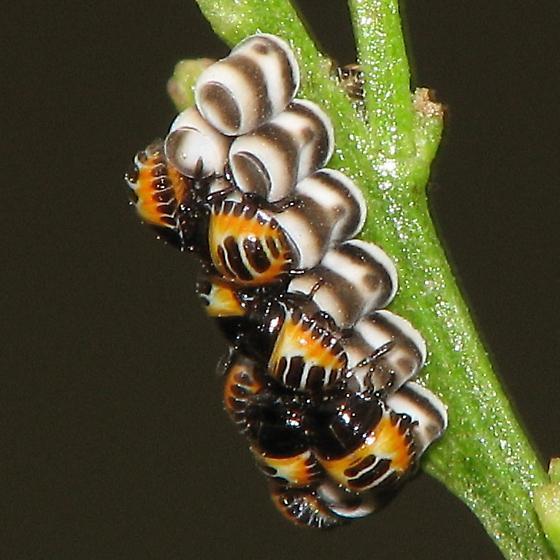 Harlequin Bug, Murgantia histrionica, hatching from eggs - Murgantia histrionica