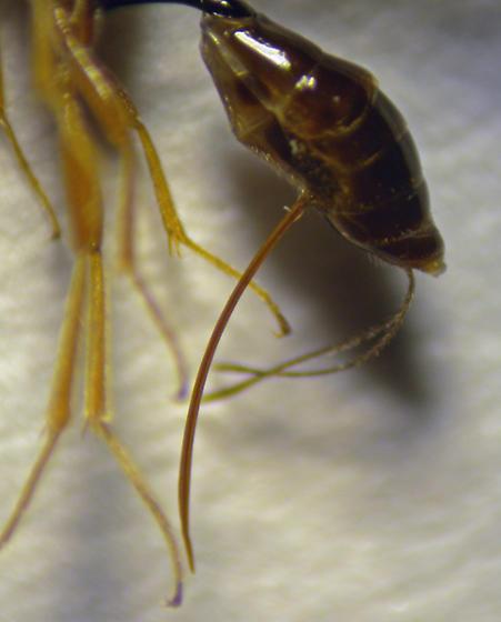 Hymenoptera - Braconidae?