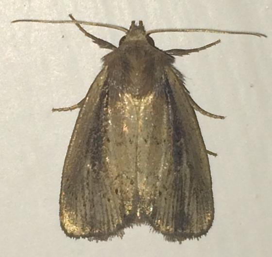 Moth - Photedes enervata