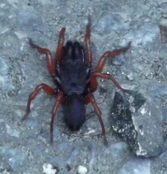 Odd looking spider - Sphodros rufipes