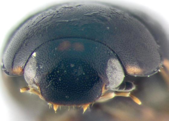 Hydrolphilidae, frontal - Cercyon praetextatus