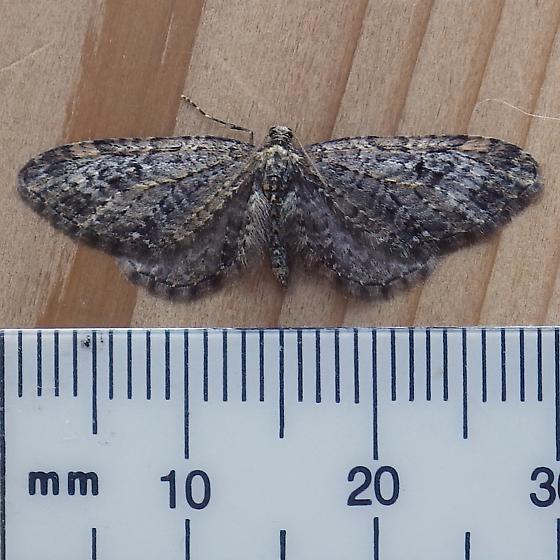 Geometridae: Eupithecia annulata? - Eupithecia