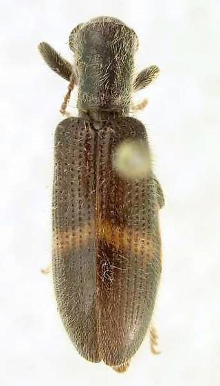 Cymatodera obliquefasciata Schaeffer - Cymatodera obliquefasciata