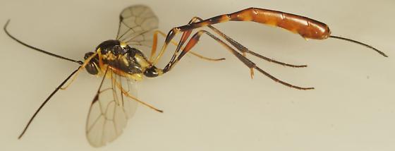 Unknown Hymenoptera - Eiphosoma - female