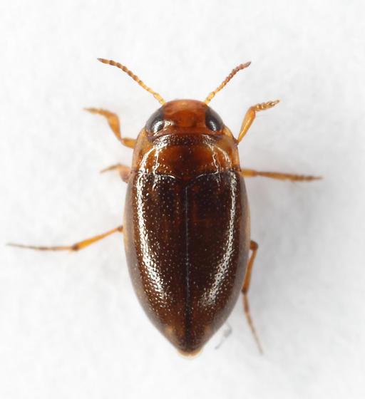 tiny diver - Liodessus