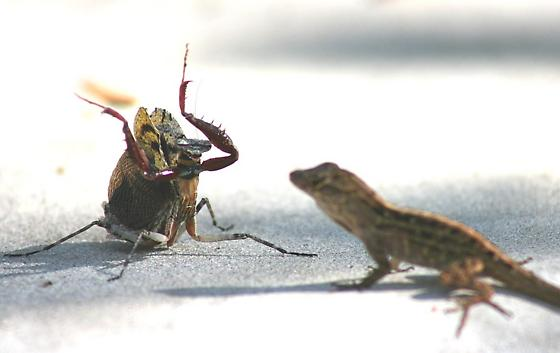 Florida Bark mantis - Gonatista grisea - female