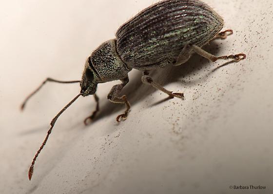 Weevil for ID - Cyrtepistomus castaneus
