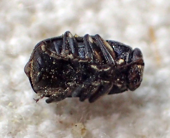 Tiny black chrysomelid? - Pachybrachis