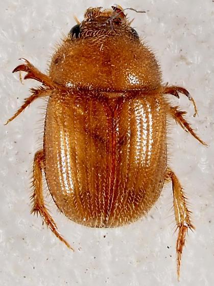 Ochodaeidae - Sand-loving Scarab? - Parochodaeus