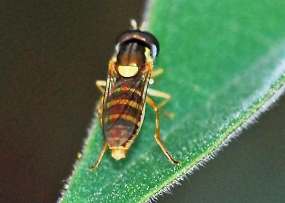 Possibly same species? - Sphaerophoria sulphuripes - female