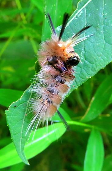Banded tussock moth caterpillar?