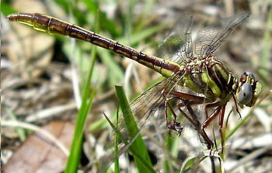 Sandhill Clubtail - Phanogomphus cavillaris - female