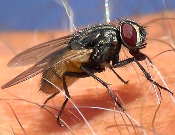 Fly with golden abdomen - House Fly - Musca domestica - female